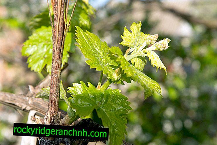 Особливості підв'язки винограду навесні
