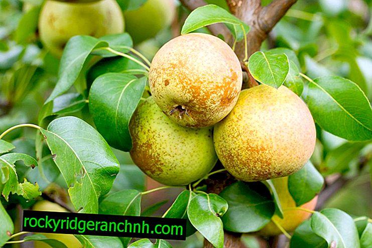 Caratteristiche della varietà di pera