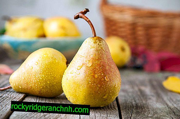 Variety Pear Baltic Oily