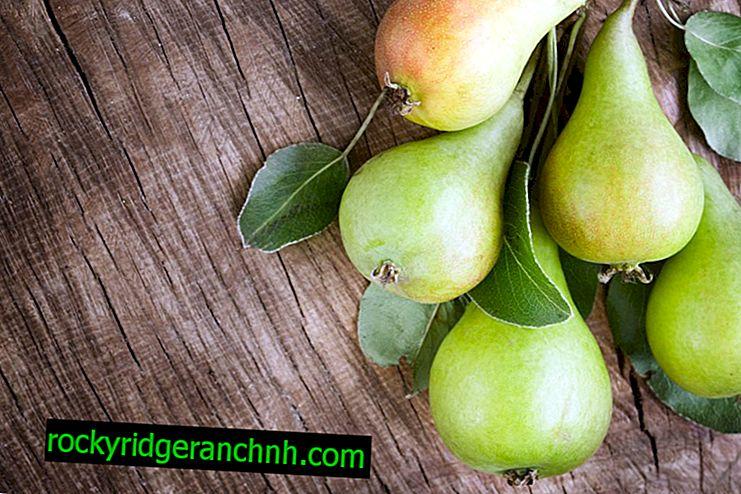 Description of pear variety Duhmyanaya