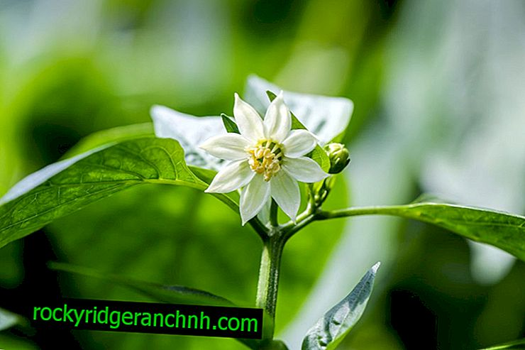 Kako preprečiti cvetenje sadik popra