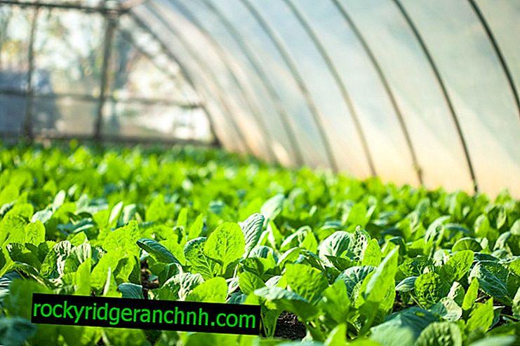Dyrkning af kålplanter i et drivhus