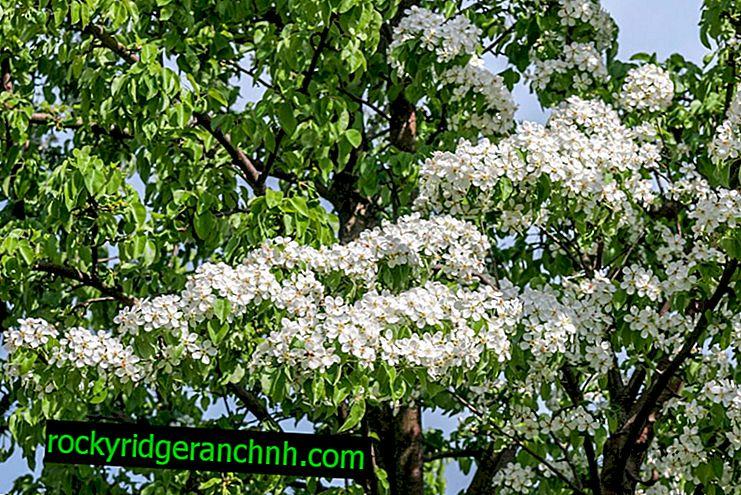 Siembra de pera en primavera en los suburbios