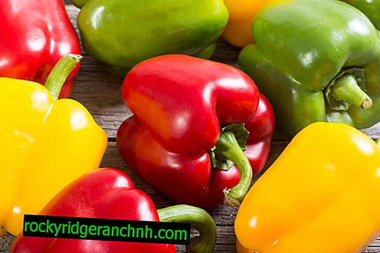 Rules for growing sweet pepper