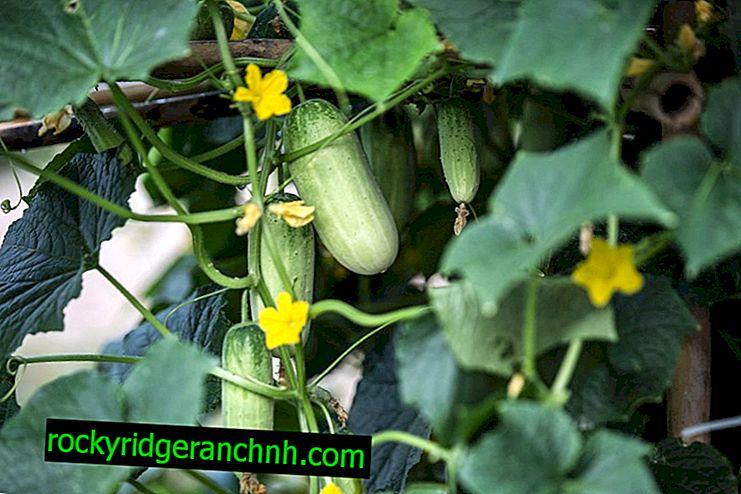 O processo de amarrar e cultivar pepinos