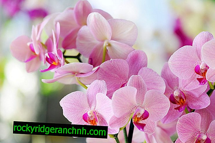Opis Pink Orchid