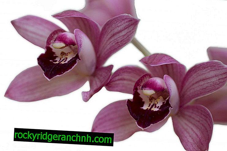 Caratteristica di orchidea bordeaux