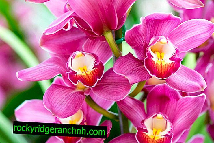 Opis Kraljevske orhideje