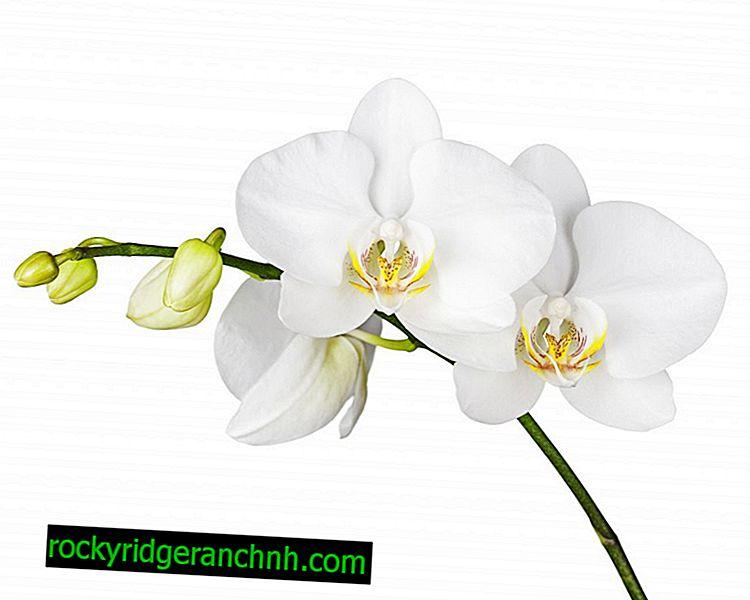 Gojenje belih orhidej