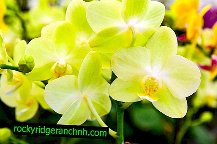 Opis żółtej orchidei Phalaenopsis