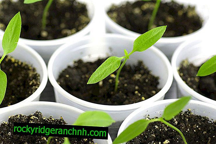 Cultiver des plants de poivron sans cueillir