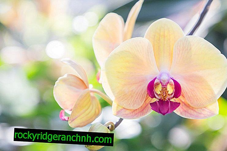 Zeoflora ansökan om orkidéer
