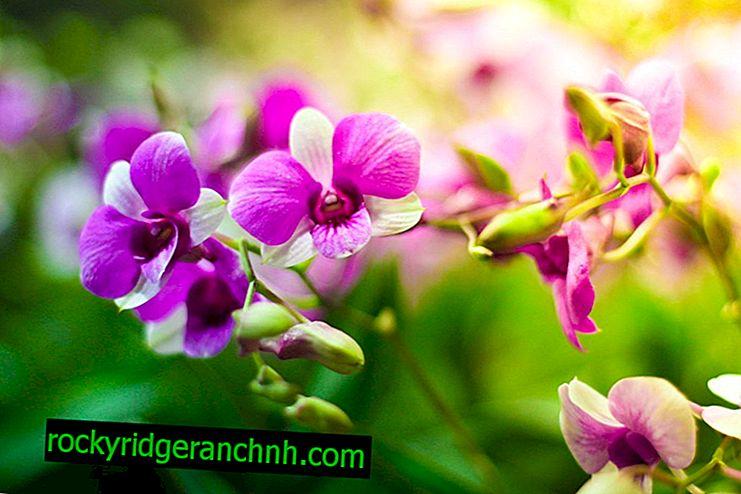 Як стимулювати цвітіння у орхідних