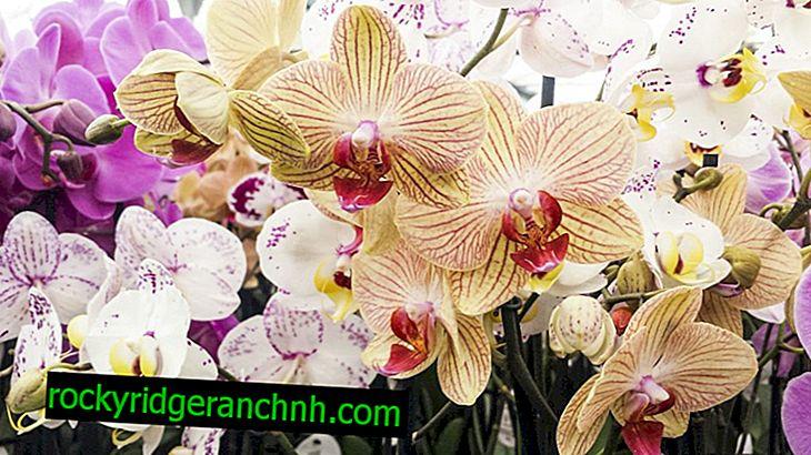 Typer av ädla orkidéer