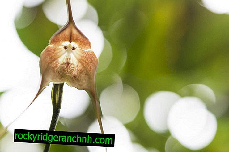Kenmerken van Dracula Orchid (Monkey Muzzle)