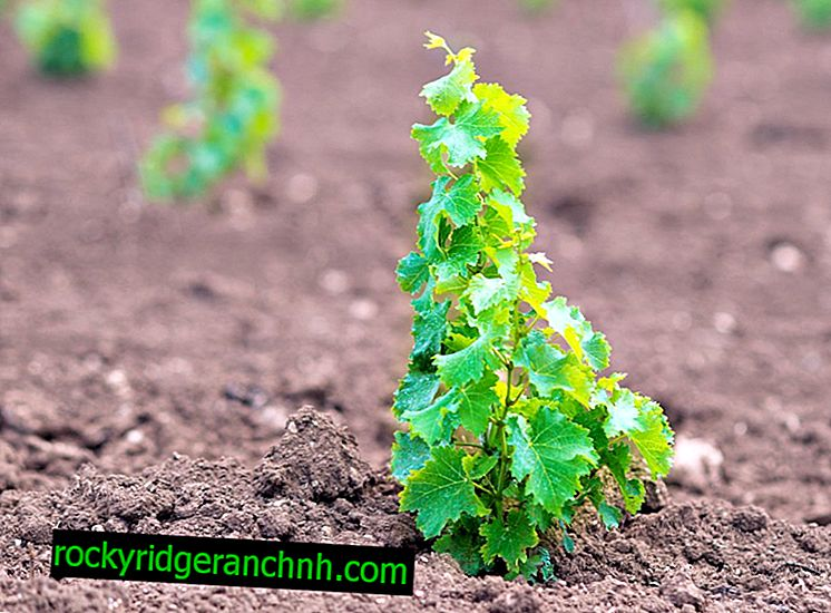 Kako in kdaj posaditi grozdje v zgodnji pomladi