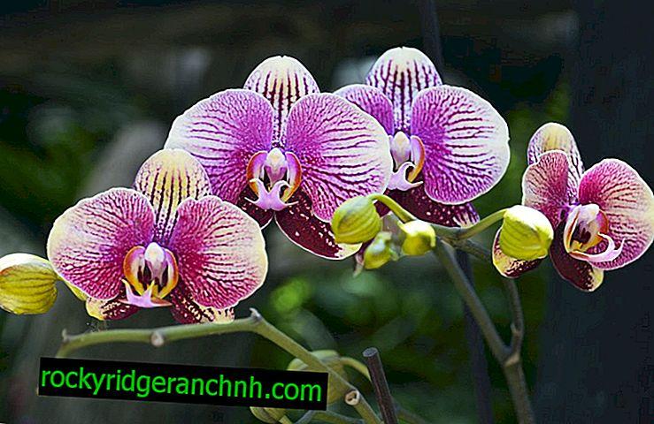 Какво да правя с бяла плака върху орхидеите