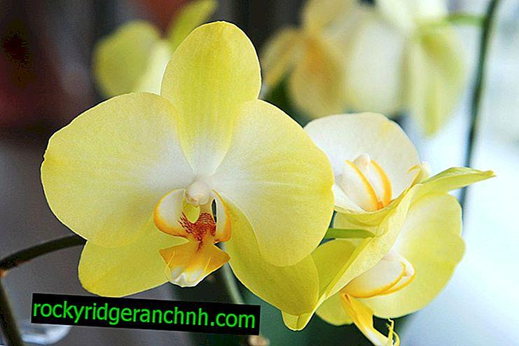 Growing Lemon Orchids