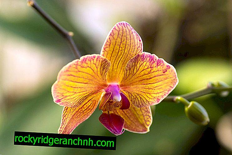 Uzgoj papiga Phalaenopsis