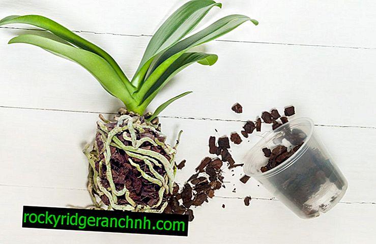 Reglas para trasplantar orquídeas Phalaenopsis