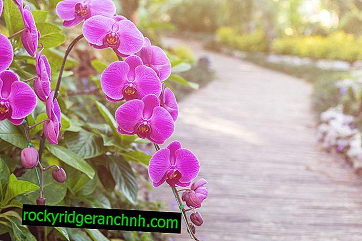 Bahçe orkide dikimi ve bakımı için kurallar