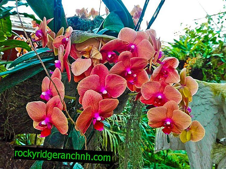 Какво да правим със загубата на тургора на листата в орхидея