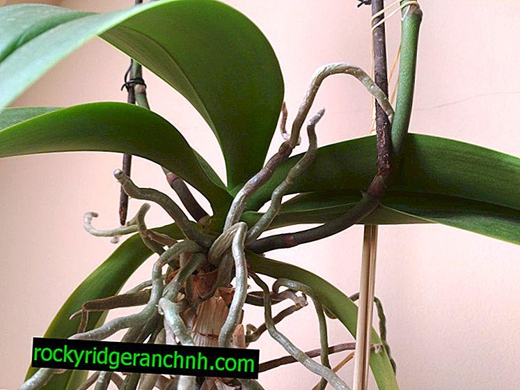 Luftorchideenwurzeln