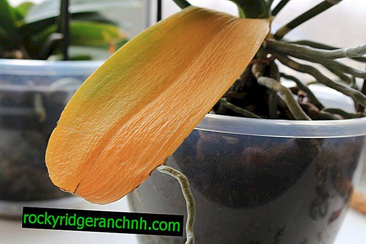 Por que a orquídea fica amarela