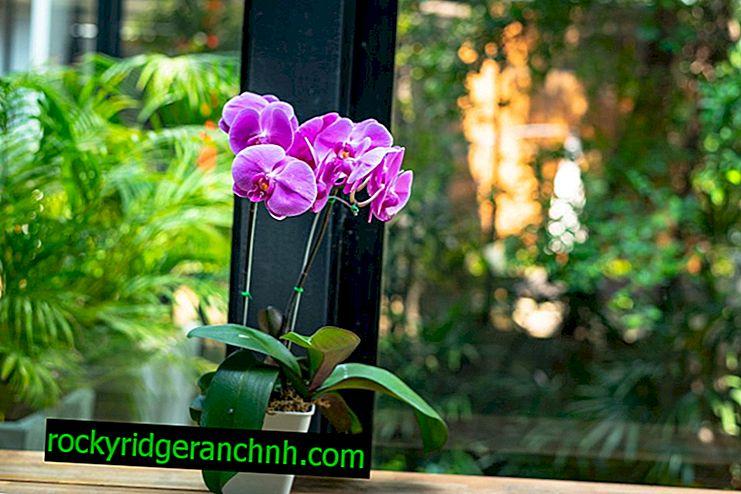 Phalaenopsis thuiszorg na aankoop