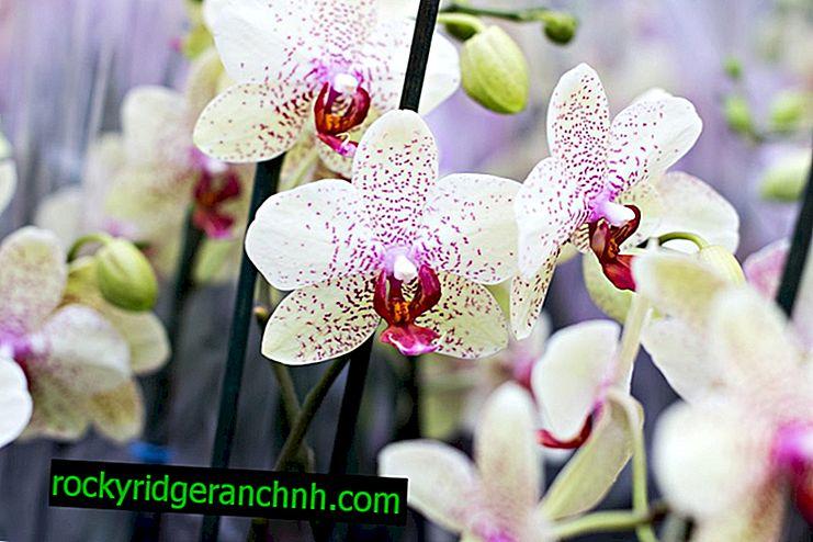 Pflege der Orchidee Dendrobium Nobile nach der Blüte