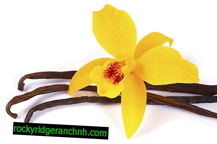Briga za Promenadnu orhideju