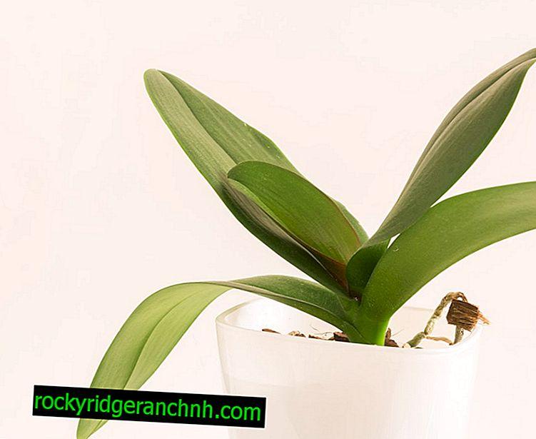 Kdaj zalivati orhidejo po presaditvi