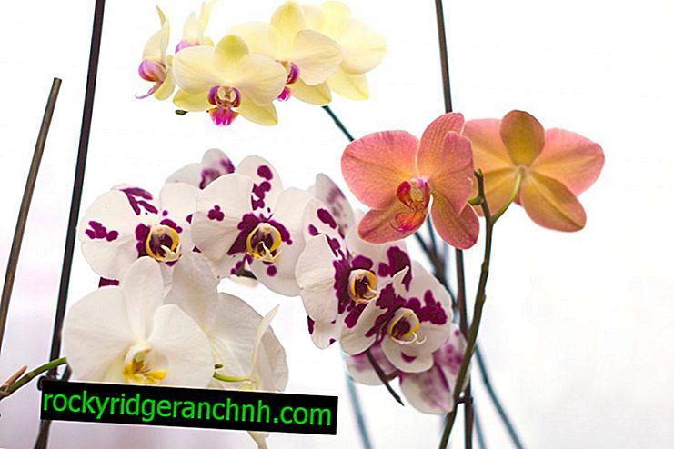 Правила догляду за орхідеєю фаленопсис