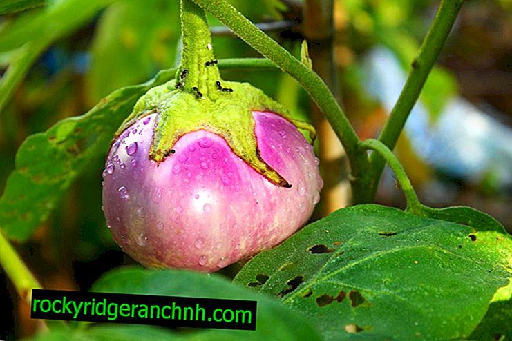 Bekjempe bladlus på auberginefrøplanter