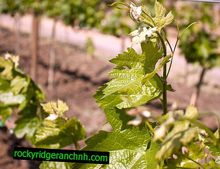 Способи розмноження винограду відводками