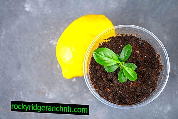 Reglas para plantar y cultivar un limonero en casa