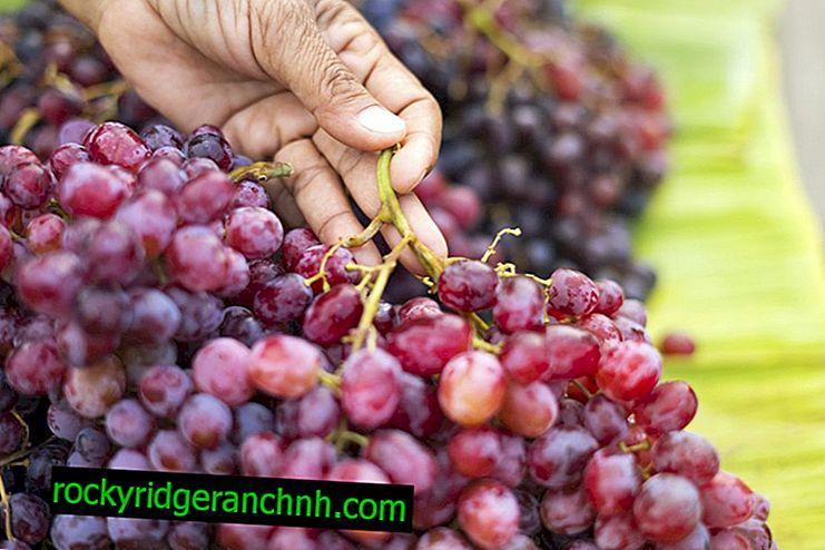 Beschrijving druivenrozijnen Aksaysky