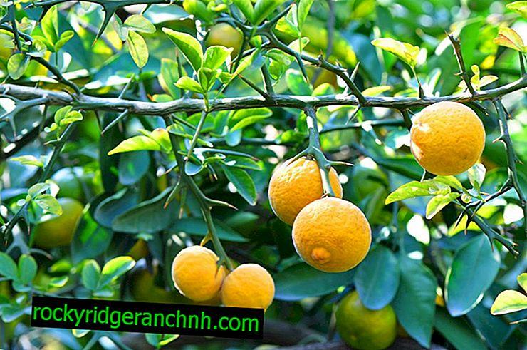 Divja limona in njena uporaba