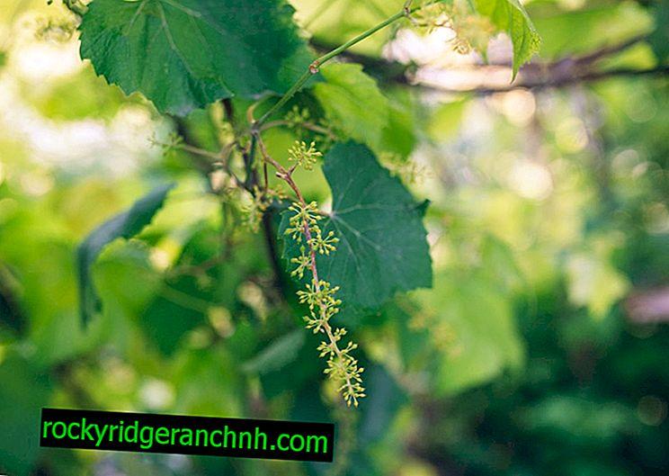 Грижа за цъфтежа на гроздето