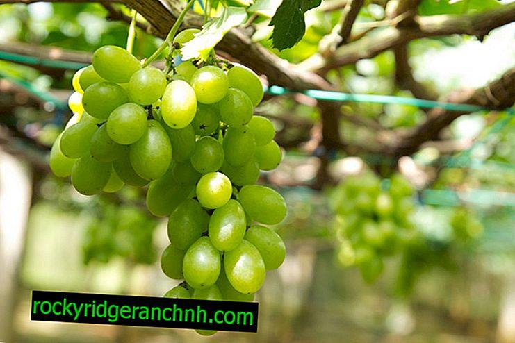 Beskrivelse af de førstkaldte druer