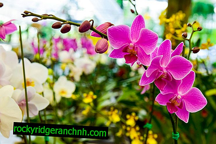 Značajke rasta orhideja