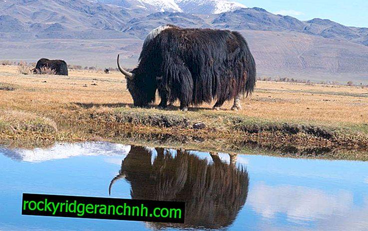 Funktioner hos djuret yak