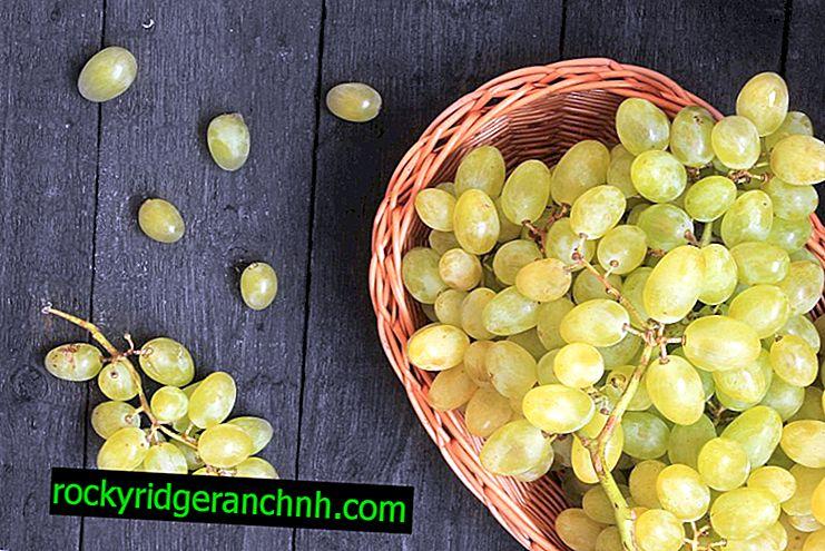 Büyüyen üzüm Tsimus