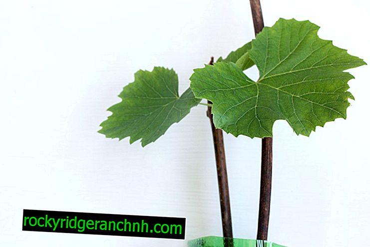Regole per la propagazione dell'uva per talea