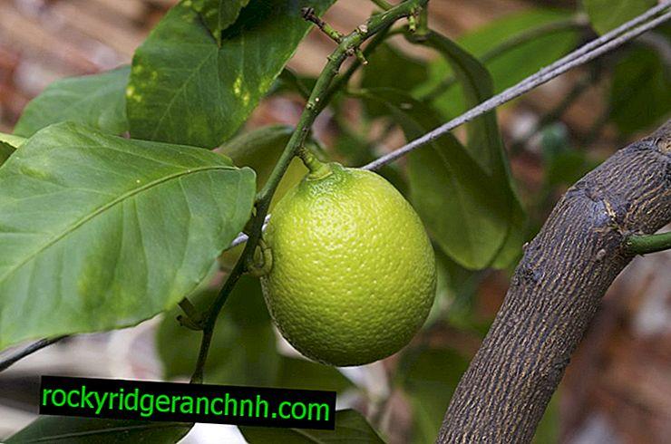 Uzupełnianie cytryny w domu