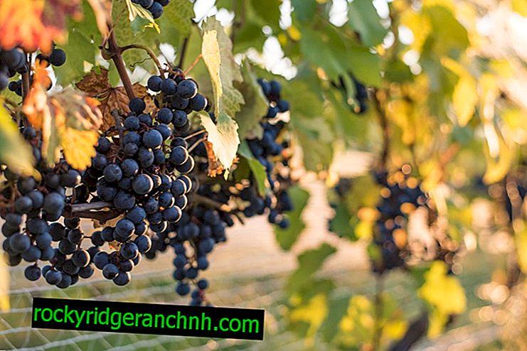 Características das uvas Taiga