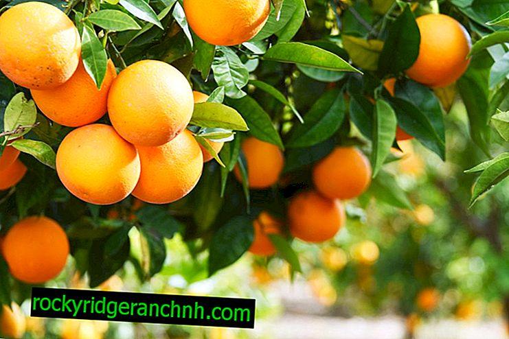 Hur apelsiner växer
