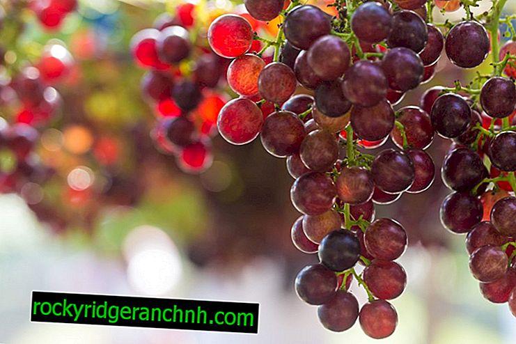 Grapes Earl Monte Cristo