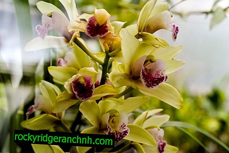 Comment effectuer la propagation de la tige d'une fleur d'orchidée