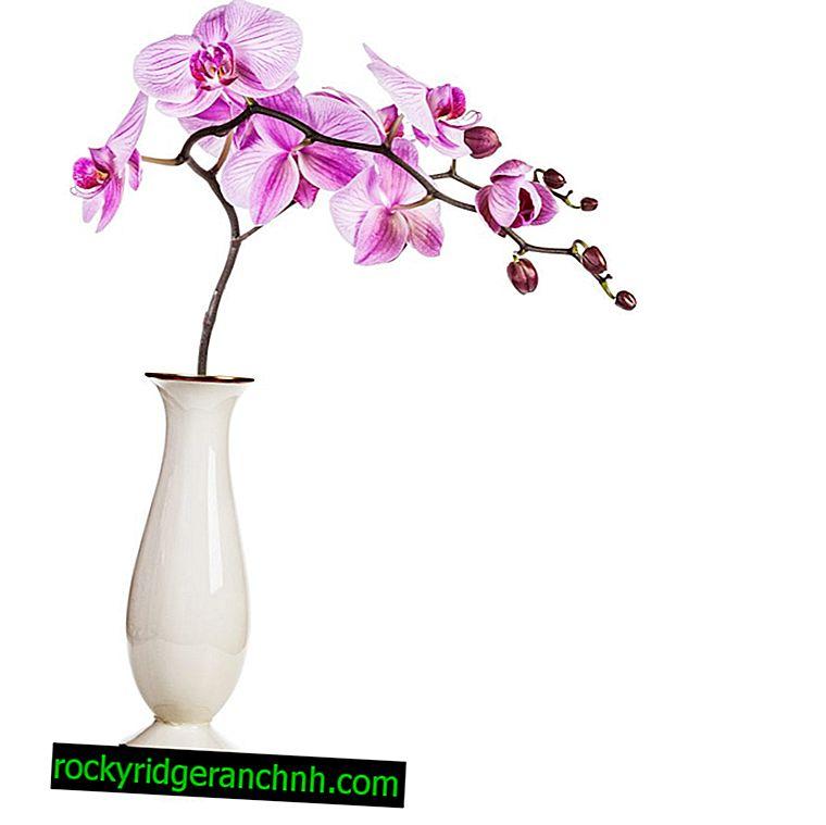 Orchideezorg in een vaas en een bol